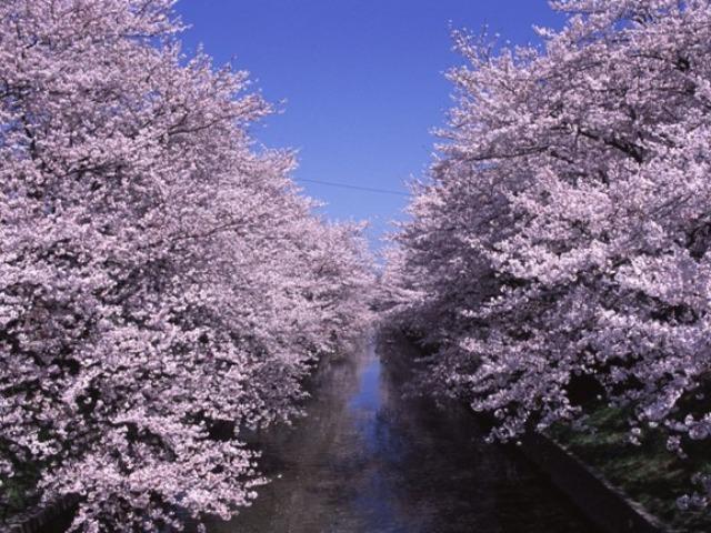 五条川の桜並